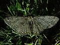 Hypomecis punctinalis 80373141.jpg
