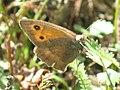 Hyponephele lycaon - Dusky meadow brown - Ликаон (26293524327).jpg