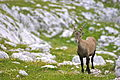 Ibex Julian Alps.jpg