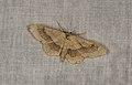 Idaea aversata (36120736150).jpg