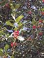 Ilex aquifolium Turó de Morou.jpg