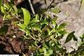 Ilex verticillata f. chrysocarpa 1zz.jpg