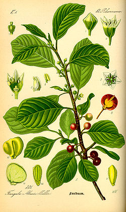 Illustration Rhamnus frangula0.jpg