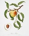 Illustration from Pomona Italiana Giorgio Gallesio by rawpixel00022.jpg