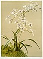 Illustration from Reichenbachia Orchids by Frederick Sander, digitally enhanced by rawpixel-com 136.jpg