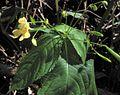 Impatiens parviflora PID1154-2.jpg