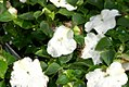 Impatiens walleriana Super Elfin White 1zz.jpg