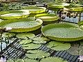 In the Waterlily House, Kew Gardens - geograph.org.uk - 985547.jpg