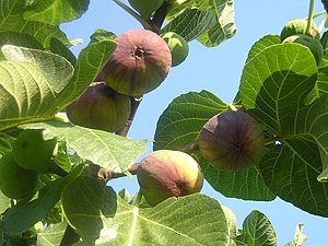 There is at least one fig tree in every garden.