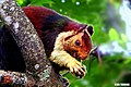 Indian giant squirrel, or Malabar giant squirrel, (Ratufa indica) (31698279626).jpg