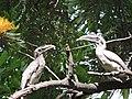 Indian grey hornbill.JPG