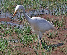Intermediate Egret (Mesophoyx intermedia)- In Breeding plumage at Bharatpur I IMG 5353.jpg