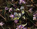 Iris Katherine Hodgkin type B - Flickr - peganum.jpg