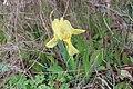 Iris lutescens 03 LM Roque Aubais 040320.jpg