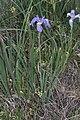 Iris missouriensis 9423.JPG
