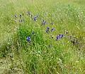 Iris sibirica kz1.JPG