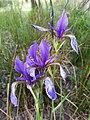 Iris sibirica sl15.jpg