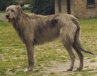 Irish Wolfhound Sam.jpg