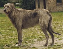 Gifts for Irish Wolfhound Dog Lovers