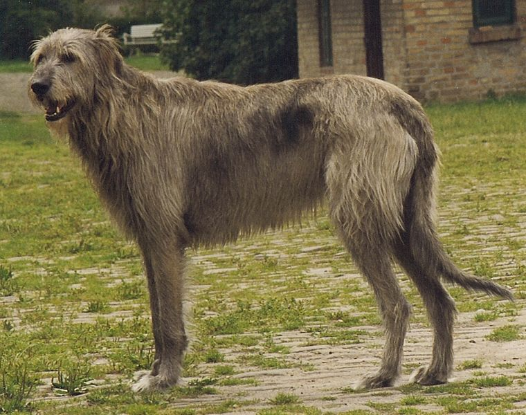 14 Gigantic Looking Long Legged And Longhaired Dogs The Tallest In