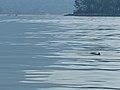 Irrawaddy Dolphin (Orcaella brevirostris) (15845259685).jpg