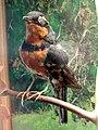 Ixoreus naevius - Museum - Garland Ranch Regional Park - DSC06884.JPG