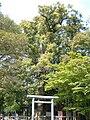 Izanagi-jingu meoto kusu 01.JPG