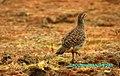 JAWAI BERA BIRDS.jpg