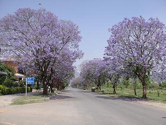 Jacaranda - Image: Jacaranda 255