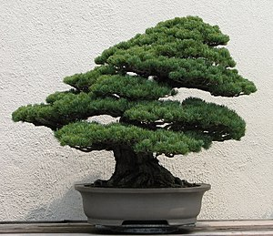 Bonsai - Japanese white pine from the National Bonsai & Penjing Museum at the United States National Arboretum.