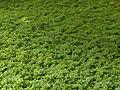 Jardines de Sabatini, plantas en el suelo, Madrid, España, 2015.JPG
