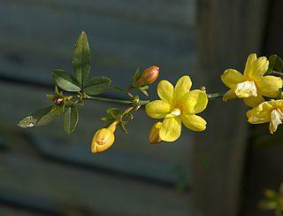 <i>Jasminum mesnyi</i> species of plant