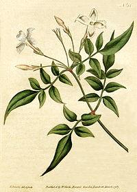 Jasminum officinale - Bot. Mag. 31, 1787