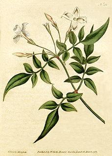 <i>Jasminum officinale</i> Species of shrub
