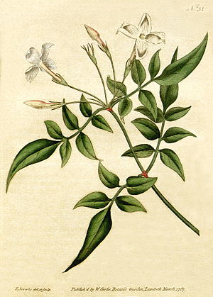 Jasminum officinale - Botanical illustration of Jasminum officinale