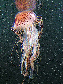 Jellyfish -- by Ulybug.jpg