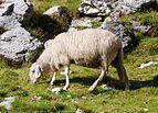 Jezersko-solčavska ovca Molička planina 1.jpg