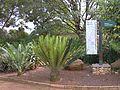 Johannesburg Botanical Garden Cycad01.JPG