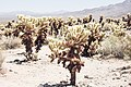 Joshua Tree - Cholla Cactus Garden - July 2017 (36024691335).jpg