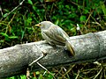Jungle Babbler on bamboo.jpg