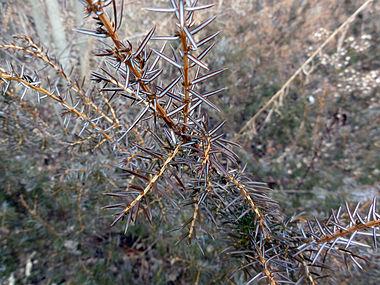 Juniperus communis var depressa SCA-02634.jpg