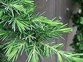 Juniperus conferta Blue Pacific2.jpg