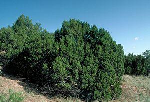 Juniperus monosperma - Image: Juniperus monosperma UGA