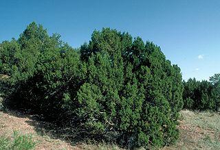 <i>Juniperus monosperma</i> species of plant