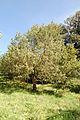 Juniperus oxycedrus Mas de l'Euzière arbre mâle.jpg
