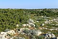 Juniperus phoenicea kz10.jpg