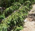 Juniperus scopulorum 2.jpg