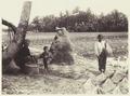KITLV - 3748 - Kurkdjian - Soerabaja - Rice harvest in Java - circa 1900.tif
