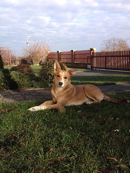 Carolina Dog - Wikipedia