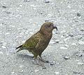 Kea (Nestor notabilis) -NZ-4b.jpg